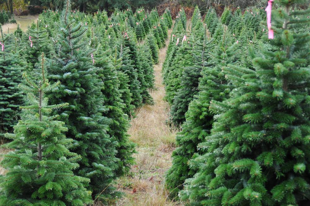 ChristmasTreefamr